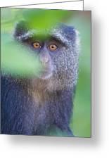 Blue Monkey Cercopithecus Mitis, Lake Greeting Card