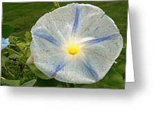 Spectacular Blue Morning Glory Greeting Card