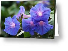 Blue Morning Glory Wildflowers - Convolvulaceae Greeting Card