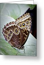 Blue Morpho Butterfly Costa Rica Greeting Card