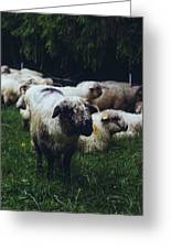 Blue Mountain Sheep Greeting Card