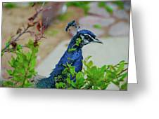 Blue Peacock Green Plants Greeting Card