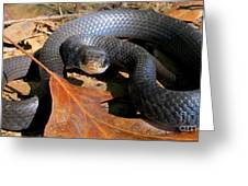Blue Racer Greeting Card by Joshua Bales