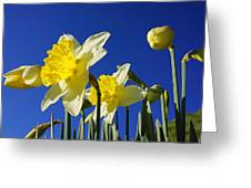 Blue Sky Spring Bright Daffodils Flowers Greeting Card