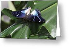 Blue-spotted Charaxes Butterfly #2 Greeting Card