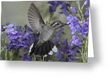 Blue-throated Hummingbird Greeting Card