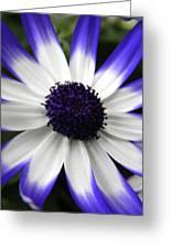 Blue Tipped Osteospermum Greeting Card