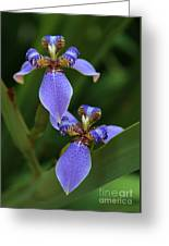 Blue Walking Iris Greeting Card by Carol Groenen