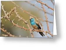 Blue Waxbill - Among The Thorns  Greeting Card