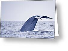Blue Whale Tail Fluke With Remoras Greeting Card