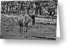 Blue Wildebeest-black And White Greeting Card