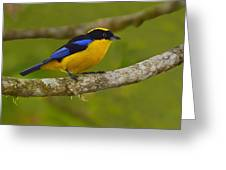 Blue-winged Mountain Tanager Greeting Card