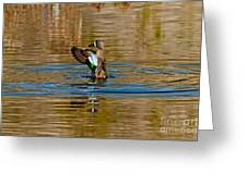Blue-winged Teal Flapping Greeting Card