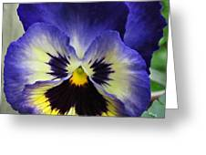 Blueberry Pansy Greeting Card