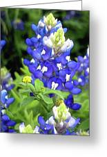 Bluebonnets Blooming Greeting Card