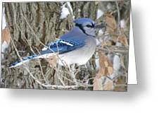 Bluejay Beauty Greeting Card