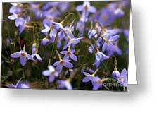 Bluets Greeting Card