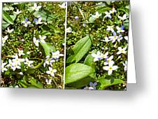 Bluets In Stereo Greeting Card