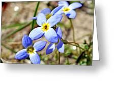 Bluets Upclose Greeting Card