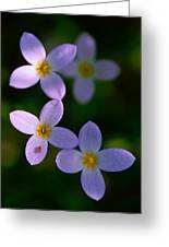 Bluets With Aphid Greeting Card