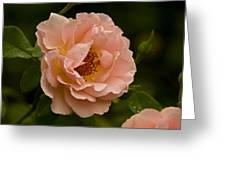 Blush Pink Rose With Dew Greeting Card
