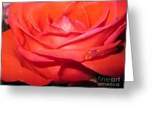 Blushing Orange Rose 7 Greeting Card