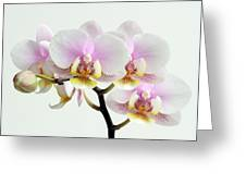 Blushing Orchids Greeting Card by Juergen Roth