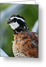 Bob White Quail Greeting Card
