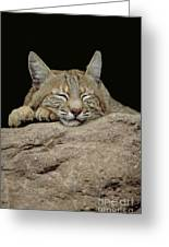 Bobcat, Arizona Greeting Card