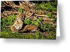 Bobcat At Sunset Greeting Card by Mark Andrew Thomas