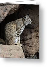 Bobcat Greeting Card by Bob Christopher