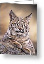 Bobcat Cub Portrait Montana Wildlife Greeting Card by Dave Welling