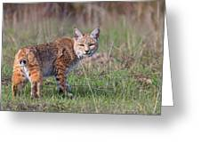 Bobcat Glance Greeting Card by Beth Sargent