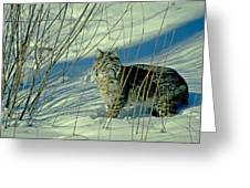 Bobcat In Snow Greeting Card
