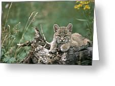 Bobcat Kitten Resting On A Log Idaho Greeting Card