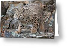 Bobcat On Rock Greeting Card