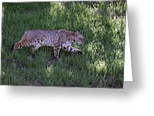 Bobcat On The Move Greeting Card