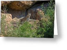 Bobcat Point Greeting Card