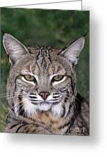 Bobcat Portrait Wildlife Rescue Greeting Card