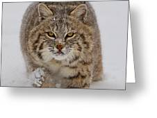 Bobcat Running Forward Greeting Card by Jerry Fornarotto