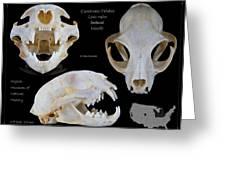 Bobcat Skull Greeting Card