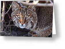 Bobcat Squared Greeting Card