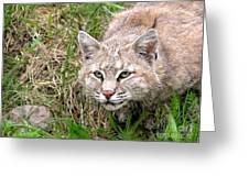 Bobcat Stalking Greeting Card by Sylvie Bouchard
