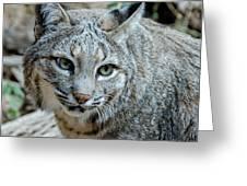 Bobcat's Gaze Greeting Card