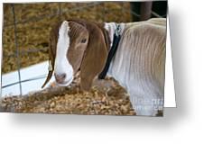 Boer Goat Greeting Card