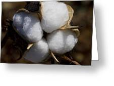 Bolls Of Cotton Greeting Card