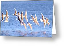 Bonaparte's Gulls 5 Greeting Card