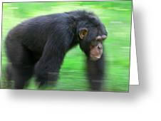 Bonobo Pan Paniscus Knuckle-walking Greeting Card