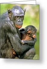Bonobo Pan Paniscus Mother And Infant Greeting Card
