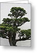 Bonsai Pine Greeting Card